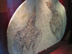 Confuciusornis, fosil