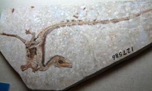 Sinosauropteryx, fosil