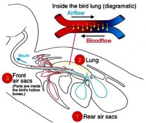 ptičja pljuča